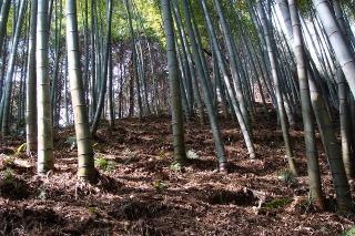 ミカン山の竹林