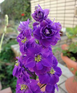 紫の千鳥草2013