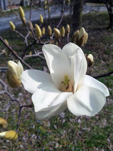 白モクレン咲き始めたと1303