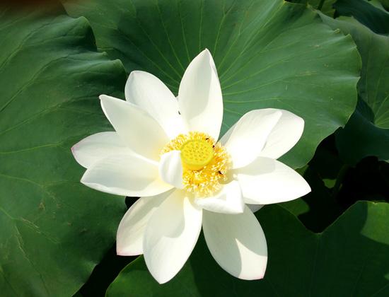 ハスの花満開1307