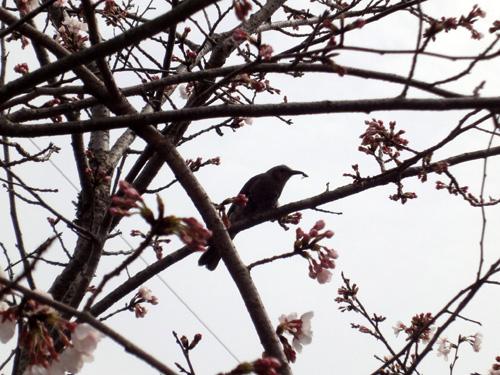 ヒヨドリと桜1