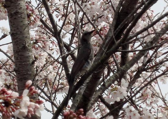ヒヨドリと桜2