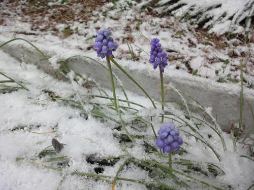 雪の中のムスカリ2013