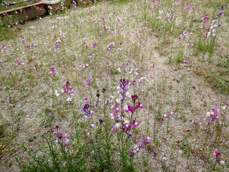 リナリアの庭1304