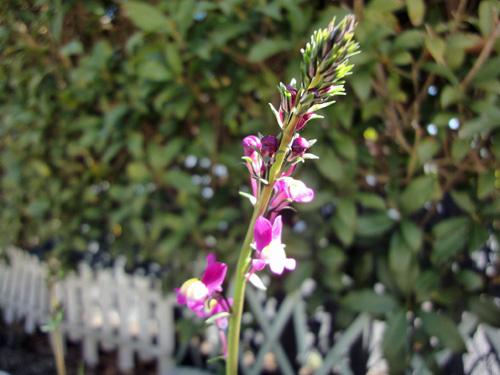 リナリア一番咲き1302