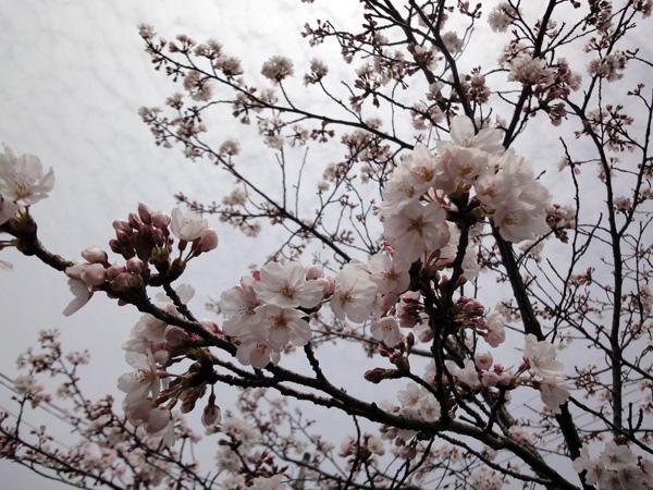 さくら咲いて1303