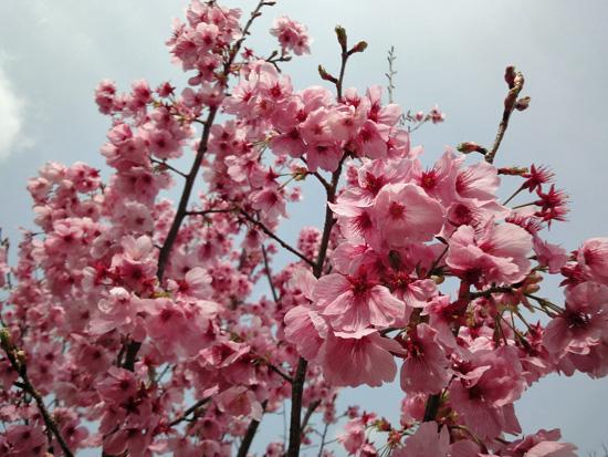 ピンクの桜は可愛い13