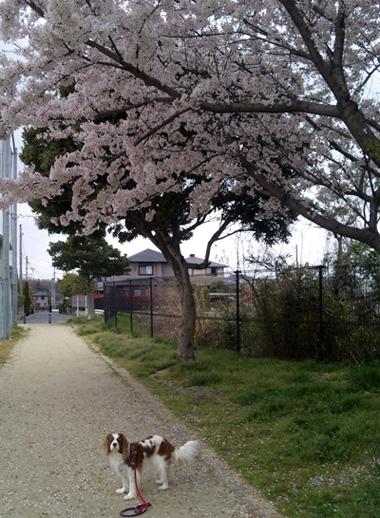 桜の下をお散歩王子13