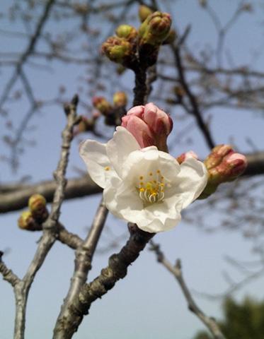 開花宣言でつ130316