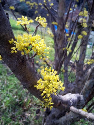 さんしゅうの花1303