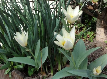 白いチューリップ咲いたばい1303
