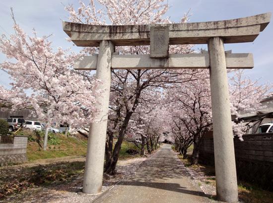 鳥居の桜1304