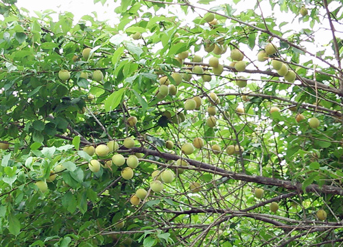 たわわの梅の実1306