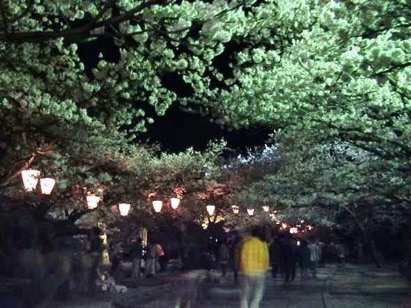 山口県岩国市 錦帯橋 桜のトンネル