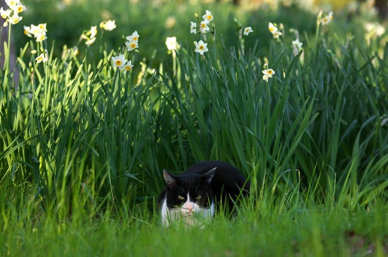 大泉緑地 水仙 猫