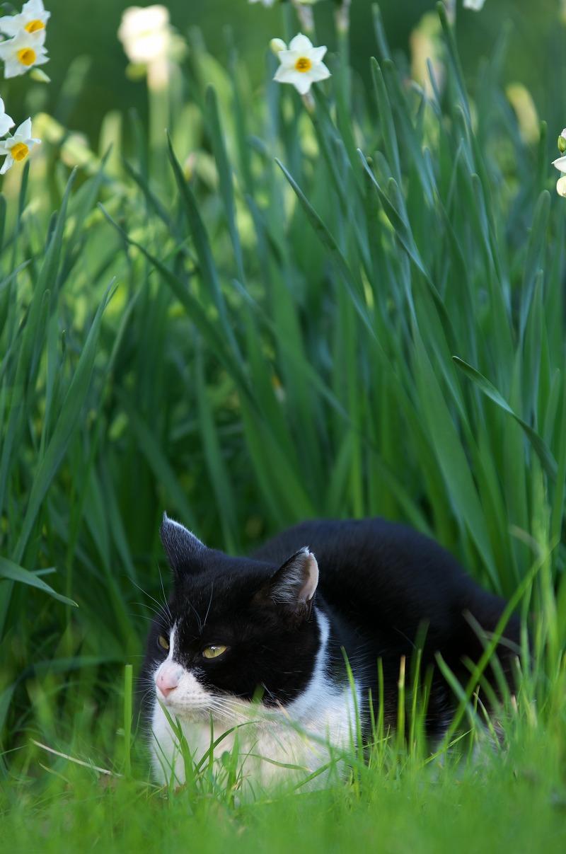 大泉緑地 冬 水仙 猫
