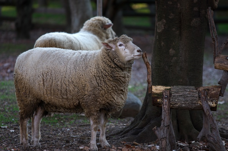 大泉緑地 冬 羊