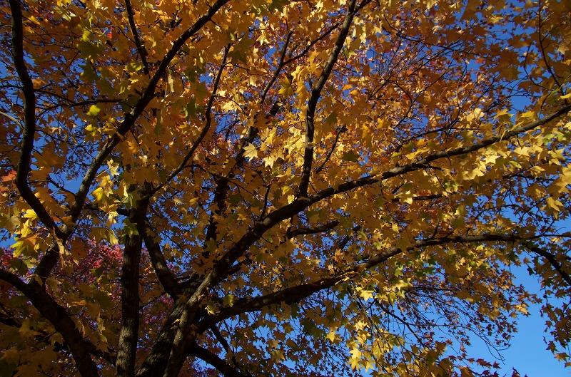 大仙公園 モミジバフウ 紅葉