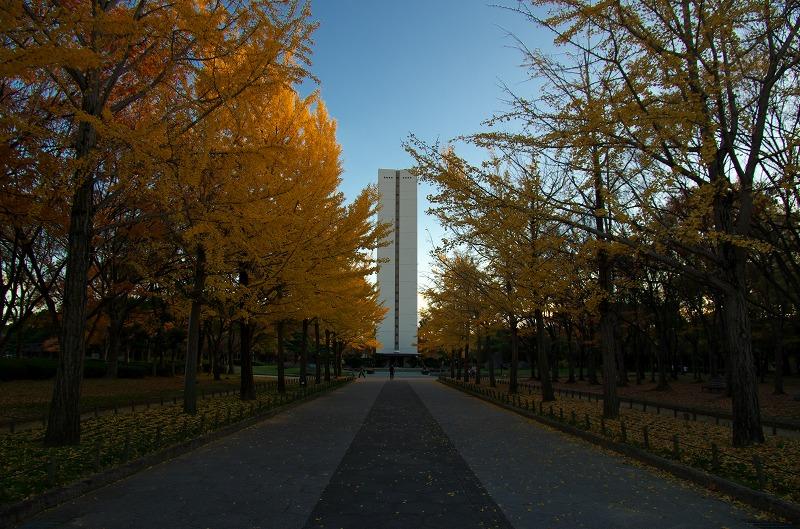 大仙公園 イチョウ並木 銀杏 紅葉