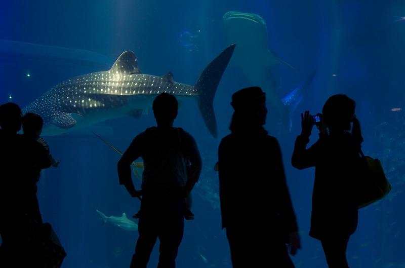 海遊館 大水槽 ジンベエザメ