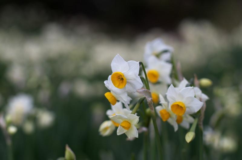 白崎青少年の家に咲く水仙