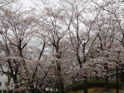 隅田公園のサクラ③