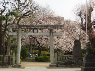 牛島神社からサクラを望む