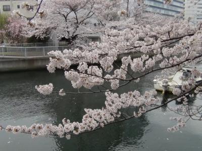 深川 大横川桜並木③