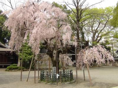 大国魂神社のしだれ桜