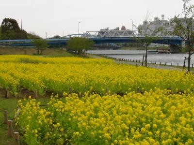 旧中川河川敷 菜の花畑