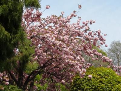 仙台堀川公園の八重桜