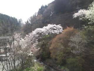 110416黒川の桜