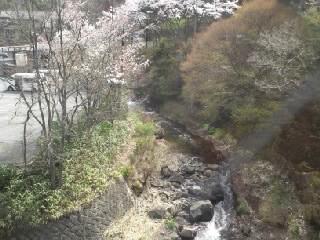 110416黒川の桜2