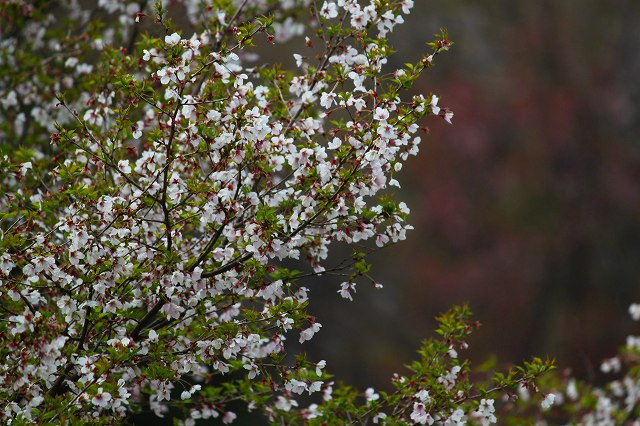 山桜?小さな桜です!