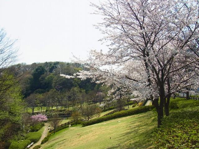 独り占めの桜の景色