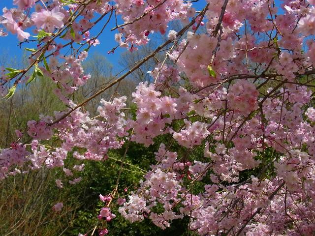こんな可愛い桜です♪