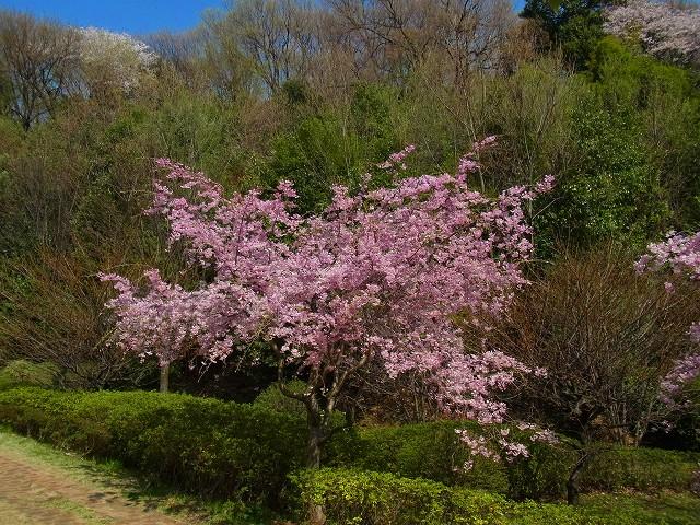 枝垂れ桜が見ごろです