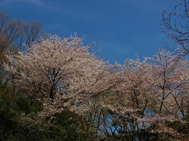 桜の下では、お花見の人も・・・