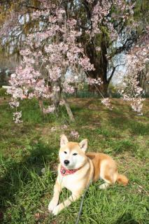 647_convert_20100412024006 枝垂れ桜