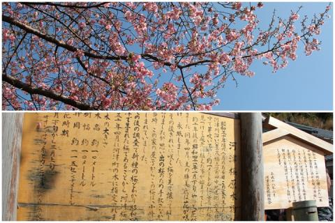 page 2011-02-18 河津桜4