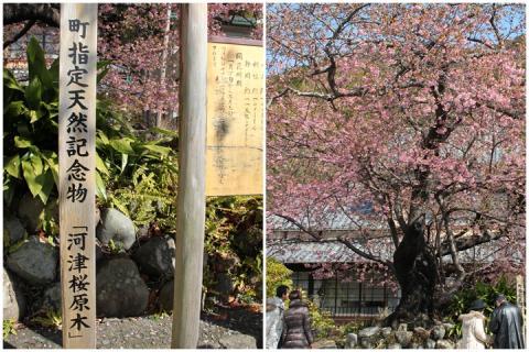 page 2011-02-18 河津桜5
