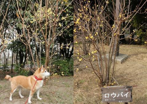 page 2011-01-28 日和鶴見緑地 蝋梅