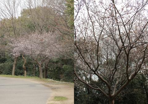 page 2011-01-29 日和鶴見緑地 冬桜