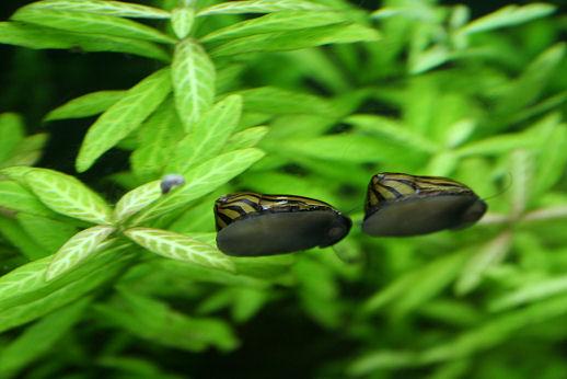 シマカノコ貝2.jpg