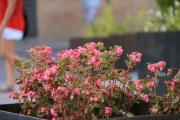 メリダの花 テアトロ01