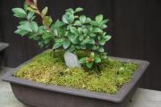 edo bonsai