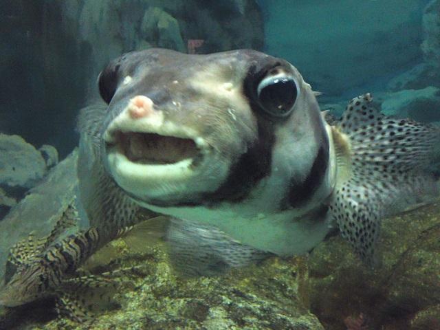 須磨水族園 フグ