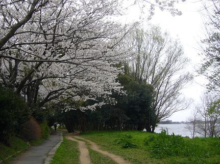 佐鳴湖の桜