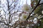 20110306八幡神社梅2