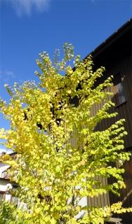 2013秋 カツラの黄葉